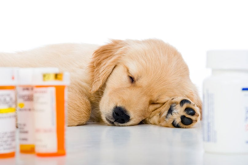 Golden Retriever puppy laying among bottles of prescription medicine
