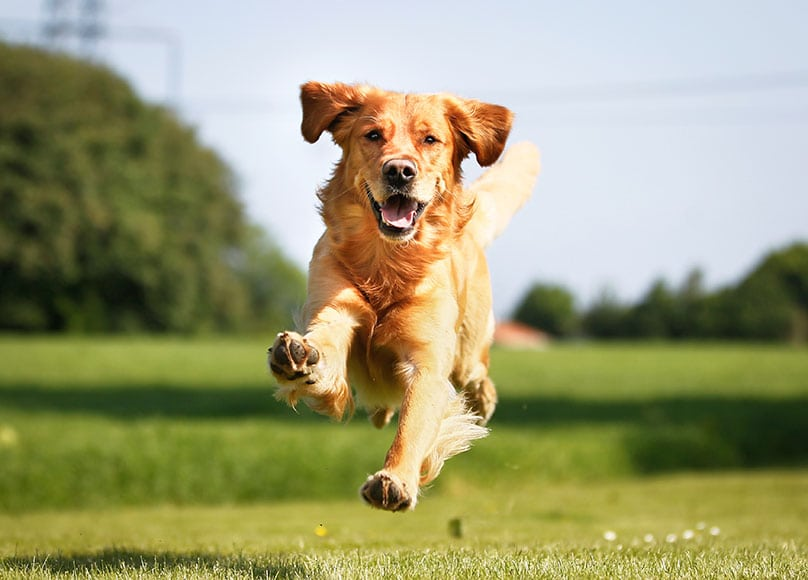 A Golden Retriever running and jumping outdoors on a sunny summer day