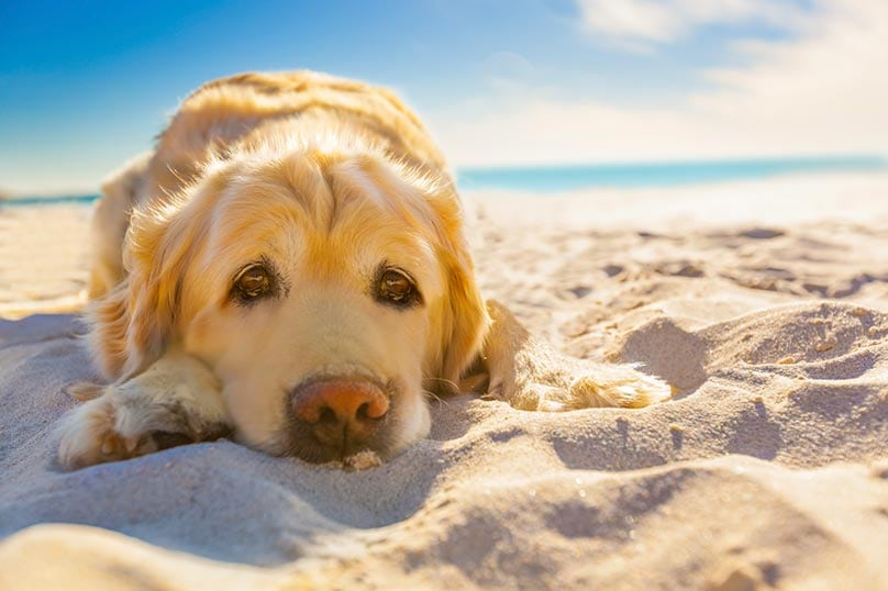 Labrador Retriever laying on the beach