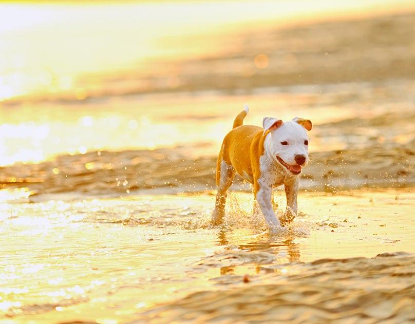 American Staffordshire Terrier walking in beach water