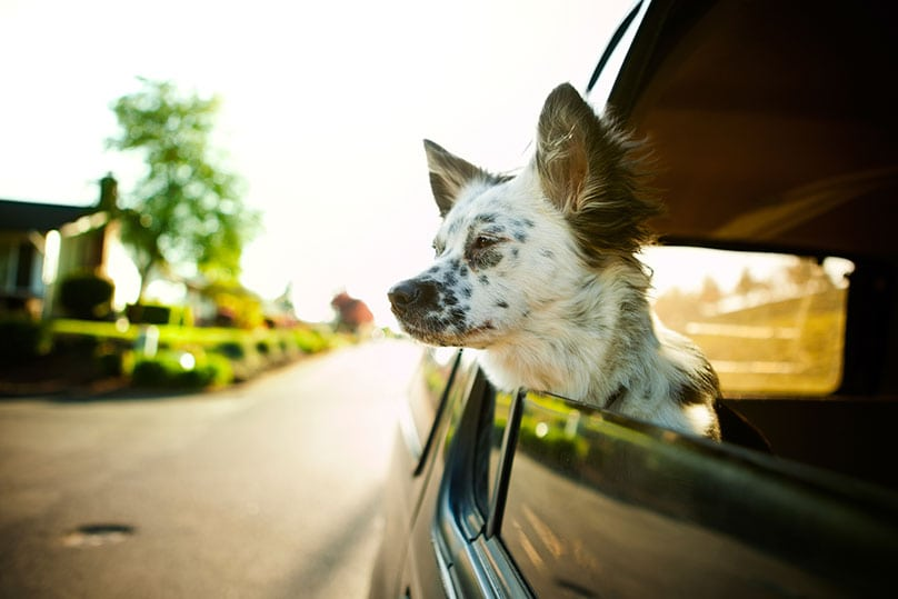 Border Collie mix dog looking outside the window of a car