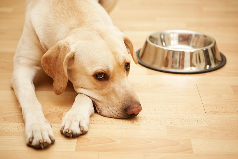 Hungry Yellow Lab with an empty bowl next to it