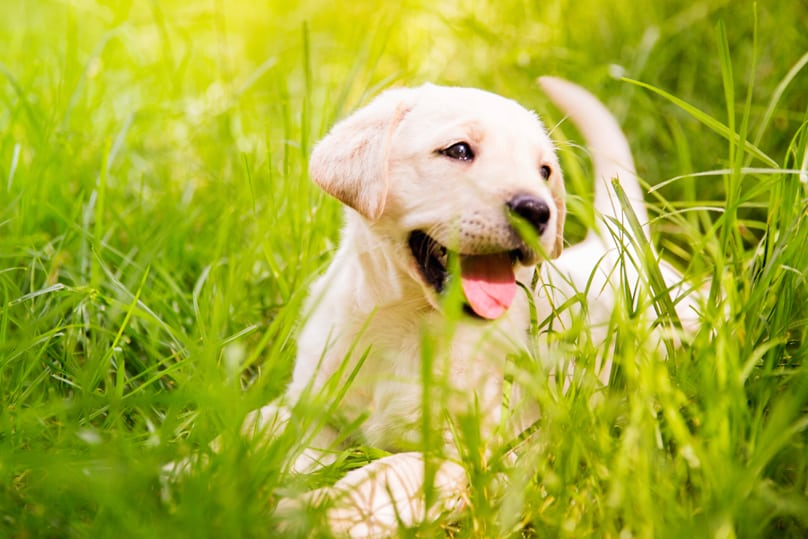 Probiotics For Dogs - Labrador puppy in a field of tall grass