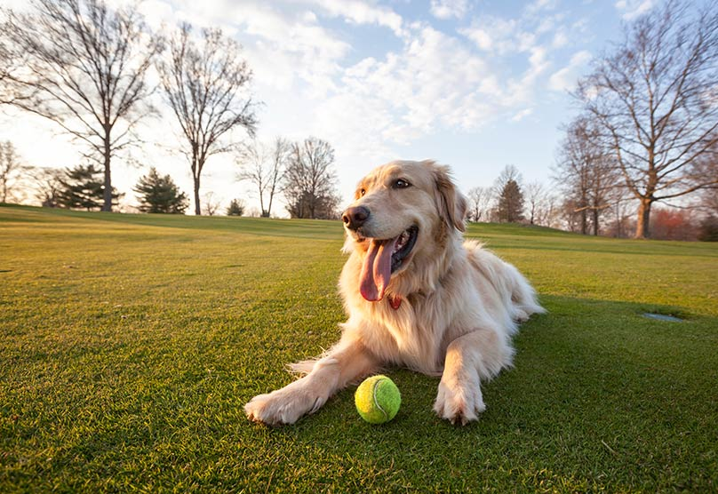 A Golden Retriever laying near a tennis ball