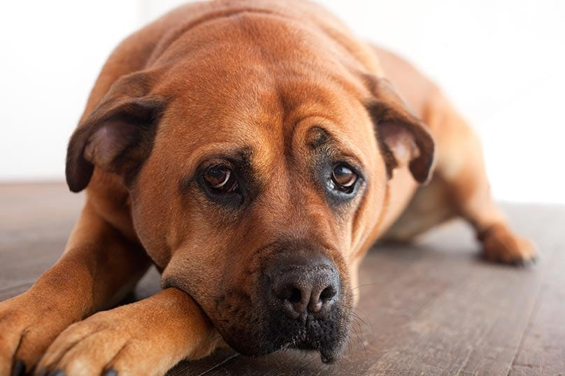 Common Side Effects of Probiotics in Dogs