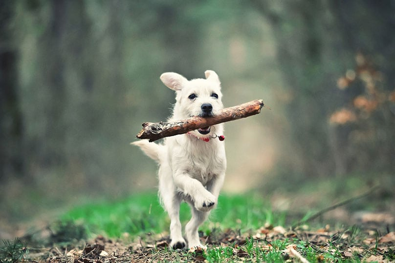 Puppy running in the forest with a stick in its mouth