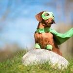 A Dachshund dressed as a superhero