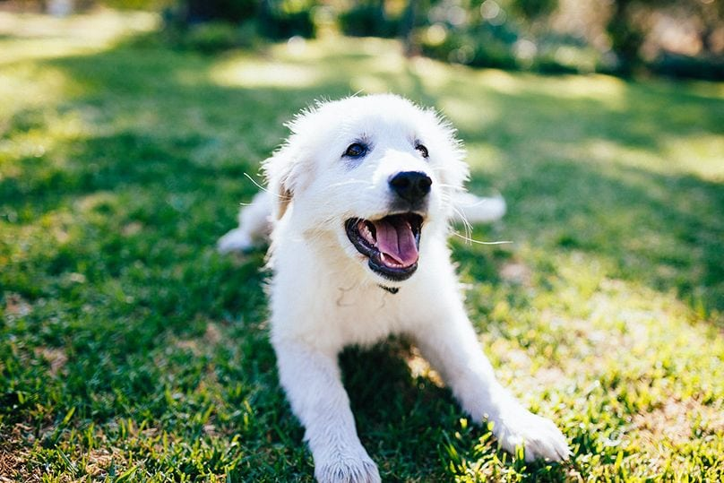 Maremma Sheepdog running and playing on grass
