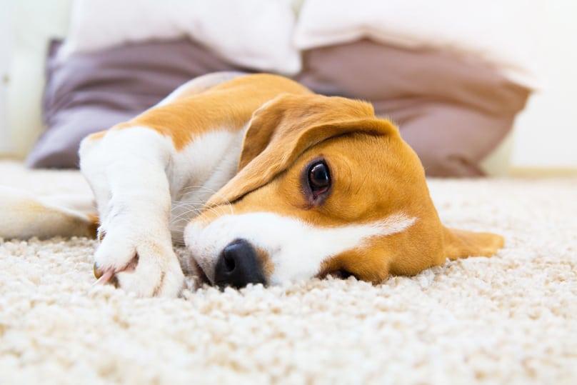 Bored dog laying on soft carpet