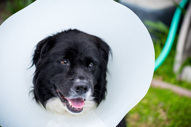 Dog wearing cone after a ovariohysterectomy