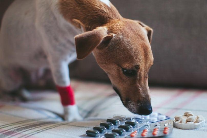 Dog sniffing ibuprofen pills